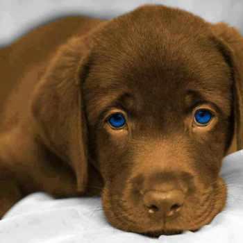 Blue Eyed Labrador For Sale