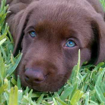 Blue Eyed Labrador Puppies For Sale