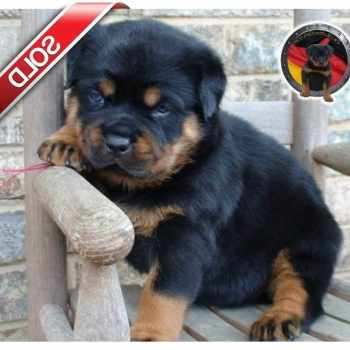 Blue Eyed Rottweiler Puppies For Sale