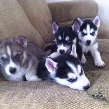 Blue Eyed Siberian Husky Puppies For Sale