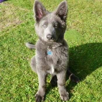 Blue German Shepherd Dogs