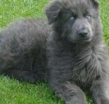 Blue German Shepherd Price