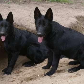 Blue German Shepherd Puppies For Sale In Michigan