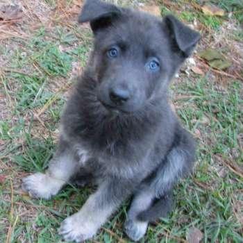 Blue German Shepherd Puppies