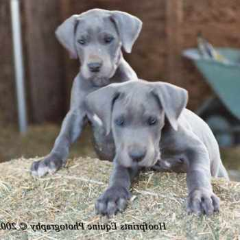 Blue Great Dane Puppies For Sale In Va