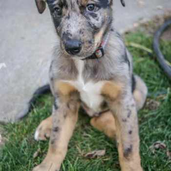 Blue Heeler Catahoula Mix
