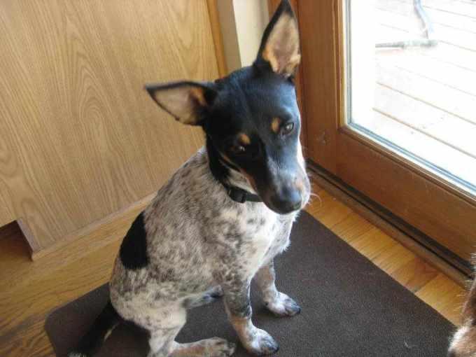 Blue Heeler Rat Terrier Mix
