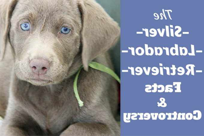Blue Labrador Retrievers