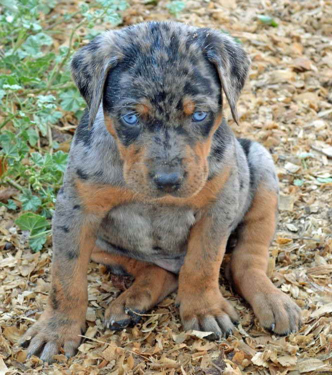 Blue Leopard Catahoula Puppies For Sale