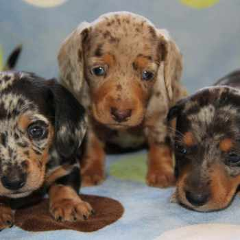 Blue Merle Dachshund For Sale