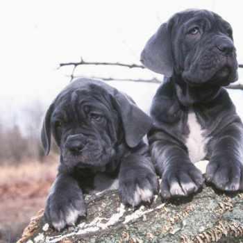 Blue Neapolitan Mastiff Puppies For Sale