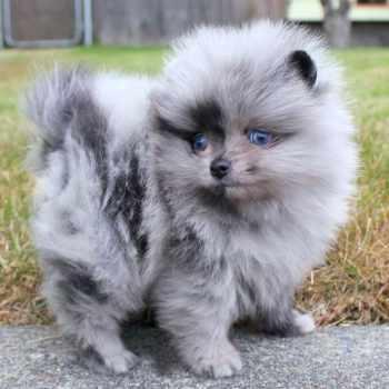 Blue Pomeranian Puppies For Sale