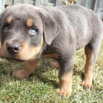Blue Rottweiler Puppies For Sale