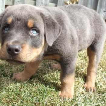 Blue Rottweiler Puppies