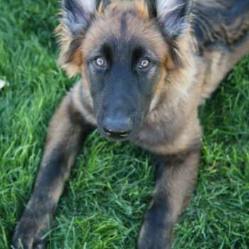 Blue Sable German Shepherd