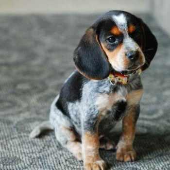 Bluetick Coonhound Beagle Mix