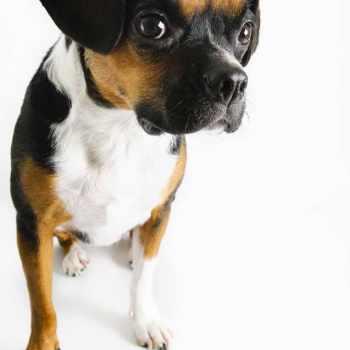 Boglen Terrier Puppy