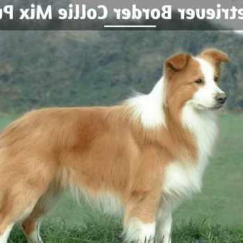 Border Collie Golden Retriever Mix Puppies For Sale