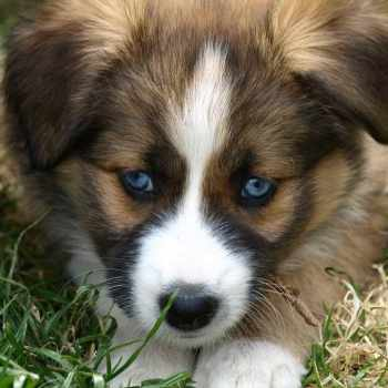 Border Collie Husky Mix Puppies For Sale