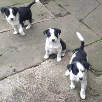 Border Collie Jack Russell Mix Puppies For Sale