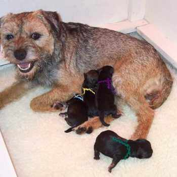 Border Terrier Breeders California