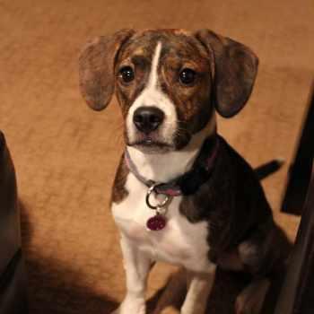 Boston Beagle Puppies For Sale