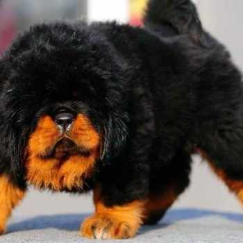 Boston Mastiff Puppies
