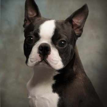 Boston Terrier Adoption California
