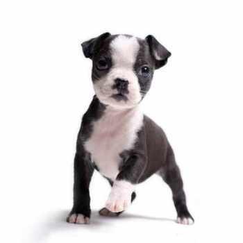 Boston Terrier Akc