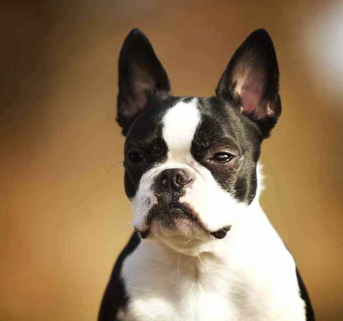 Boston Terrier And French Bulldog Mix