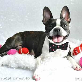 Boston Terrier Bow Tie