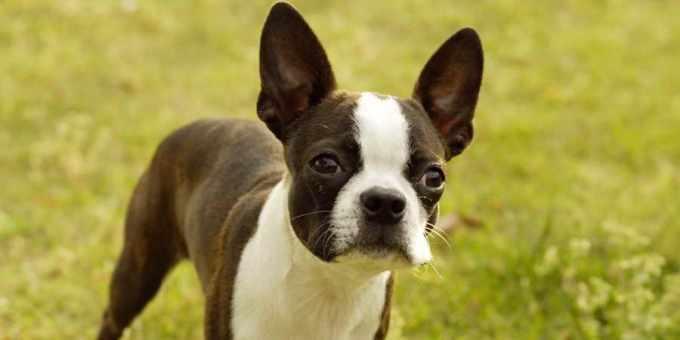 Boston Terrier Breed Information