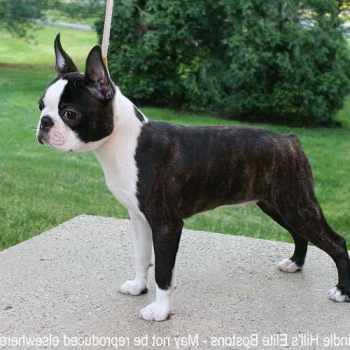 Boston Terrier Breeder Washington