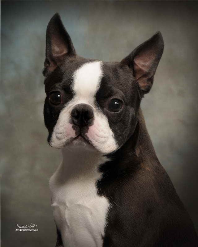 Boston Terrier Breeders Alabama