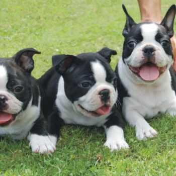 Boston Terrier Breeders Houston