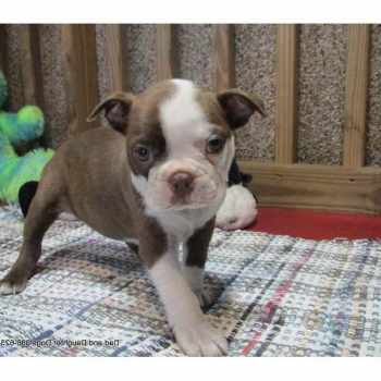 Boston Terrier Breeders In Florida
