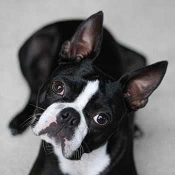 Boston Terrier Breeders In Michigan