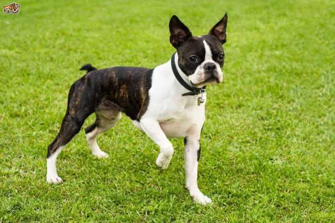 Boston Terrier Breeders In New England