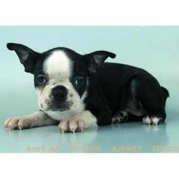 Boston Terrier Breeders Las Vegas