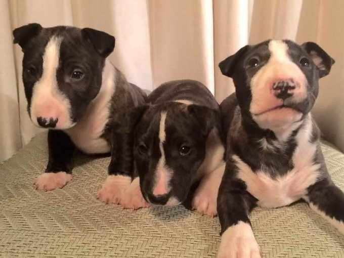 Boston Terrier Breeders Los Angeles