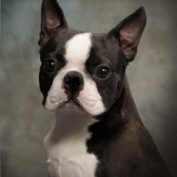 Boston Terrier Breeders Va
