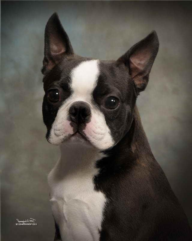 Boston Terrier Breeders Washington State
