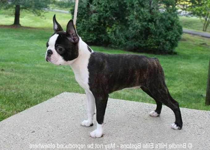 Boston Terrier Breeders Washington