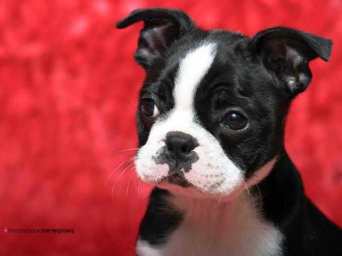 Boston Terrier Breeders Wi