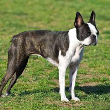 Boston Terrier Breeds