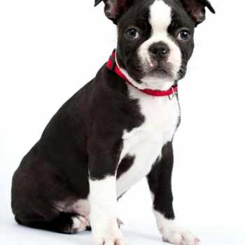 Boston Terrier Chihuahua Mix Puppies