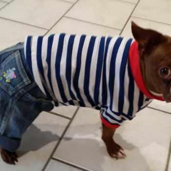 Boston Terrier Clothes