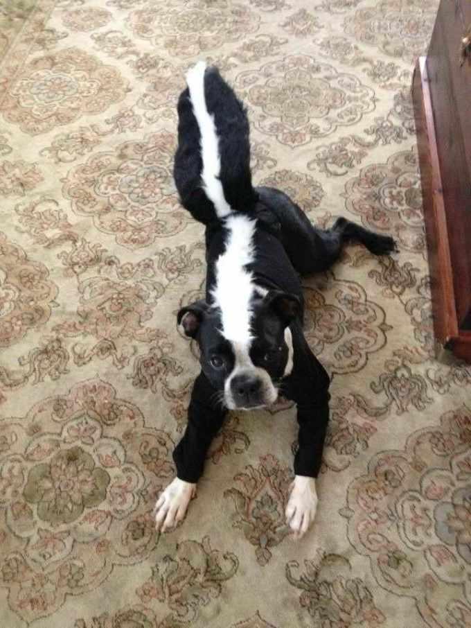 Boston Terrier Costume