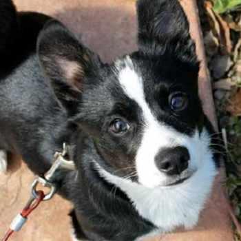 Boston Terrier Crosses