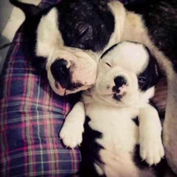 Boston Terrier Cuddle